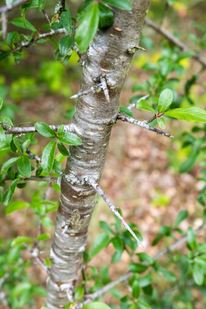 Epine noire - Prunellier - Prunus spinosa - Blackthorn