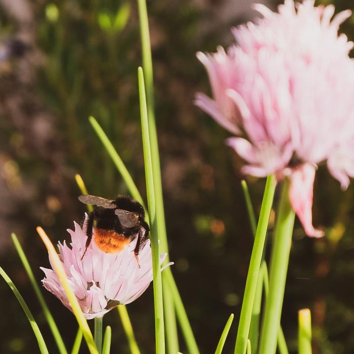 a wild bee on flower